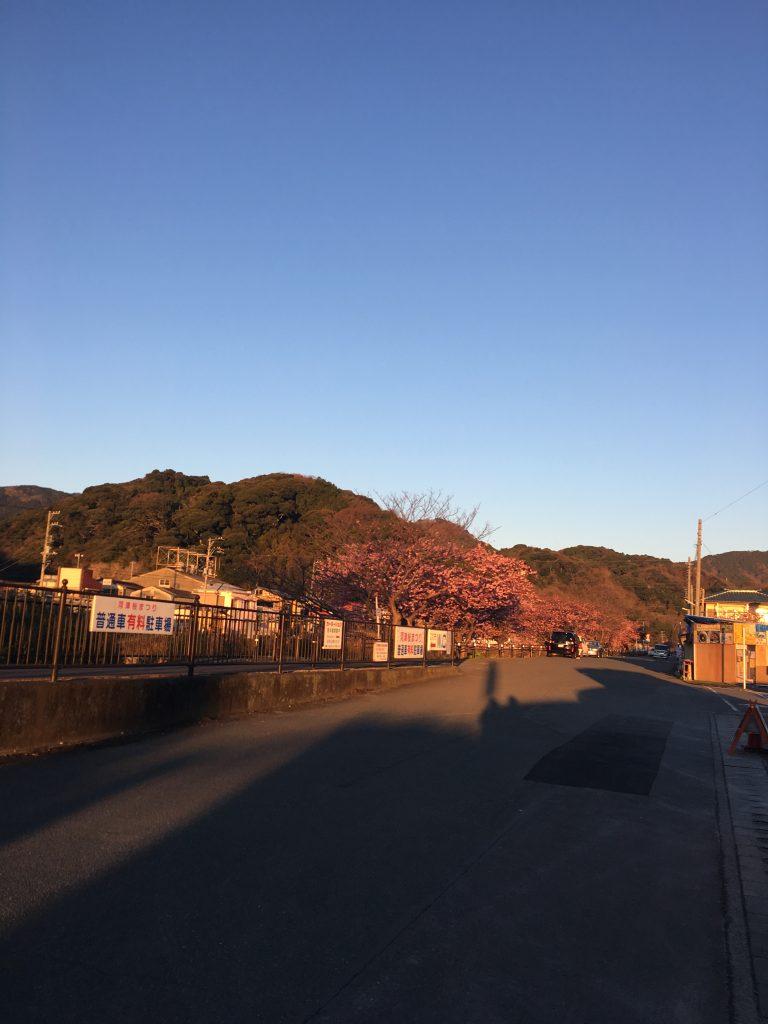 河津桜駐車場「12」