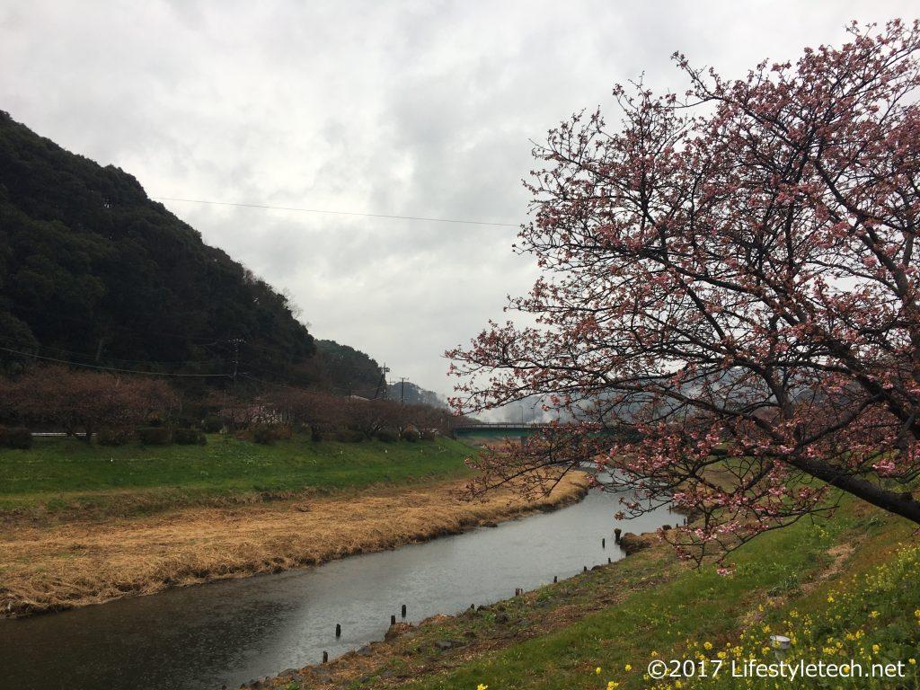 南伊豆町の河津桜状況